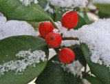 Holly berries with snow
