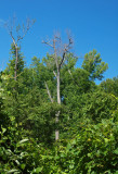 Dead tree in the thicket