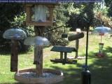 Chickadee fledglings