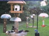 Swarm of black birds