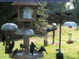 Overrun by grackles!