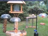 Juvenile rose-breasted grosbeaks