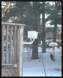 Pair of pileated woodpeckers