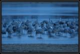 Sleeping cranes