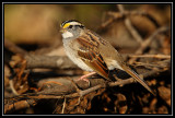 White-throated sparrow ©  Liz Stanley