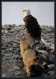 Bald eagle ©  Liz Stanley