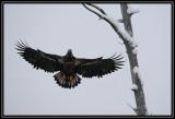 Bald eagle (juvenile) ©  Liz Stanley