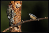 Yellow-bellied sapsucker (juvenile) and red-breasted nuthatch