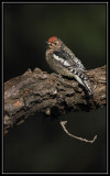Yellow-bellied sapsucker (juvenile)