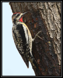 Yellow-bellied sapsucker (male)