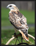 Red-tailed hawk (Krider's form)