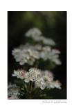May blossom.........