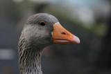 Pbase meet goose