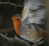 Robin in a flap