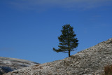 The lonesome Pine