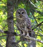 Barred Owl 2532