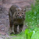 Bobcat - August 2009