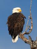 Bald Eagle 3820