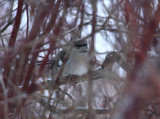 Northern Mockingbird 4721