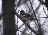 Northern Mockingbird 4755
