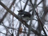 Northern Mockingbird 4759