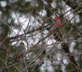Pine Grosbeak 4850