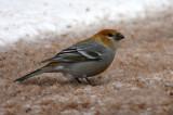 Pine Grosbeak 4859