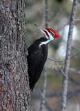 Pileated Woodpecker 5570
