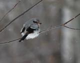 Northern Shrike 5176