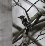 Downy Woodpecker 0214