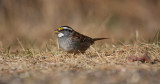 White-throated Sparrow 0660