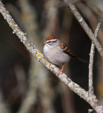 Chipping Sparrow 0674