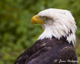 Bald Eagle Gallery
