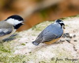 Black-capped Chickadee & Red-breasted Nuthatch