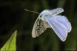 fotoopa D308115 Icarusblauwtje - Polyommatus icarus