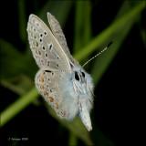 fotoopa D307982 Icarusblauwtje - Polyommatus icarus