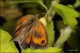 fotoopa D313654 Oranje Zandoogje - Pyronia tithonus