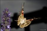 fotoopa D314418 Distelvlinder - Vanessa cardui