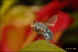 Fly_15755.jpg