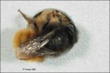 Osmia cornuta - metselbij_16308.