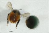 Osmia cornuta - metselbij_16337.