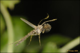 Chironomus plumosus_16987