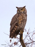 Great Horned Owl -1665