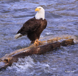 Bald Eagle fishing from log in river-3396