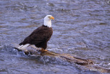 Bald Eagle on log in river-3393