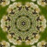 Dandelion 4.jpg
