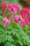 Fernleaf Bleeding Heart
