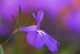 Lobelia Flower (see also next one)