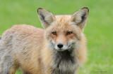 Non ce n'est pas le renard du jardin botanique :-)