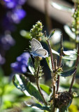 Eastern Tailed Blue 5119C